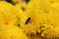 菊花上的蜜蜂