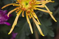 自然的菊花