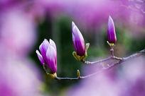 三朵紫玉兰