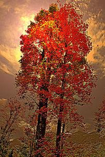 天空下的红叶子树
