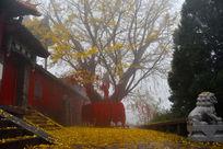 秋天里的黄华觉仁寺千年古银杏树