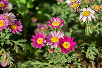 娇嫩鲜艳的粉色雏菊