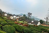 休宁金龙山高山茶园