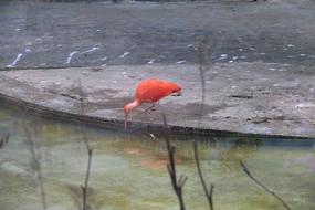 饮水的红鹤