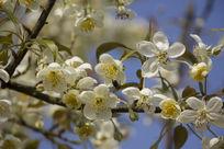 蓝天背景白色梨花