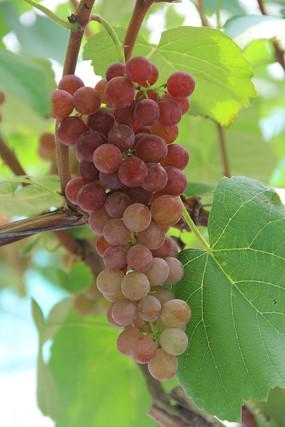 鲜美玛瑙红葡萄