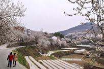 游客在乡村道路上观赏樱花