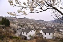 中国旅游名村樱桃沟盛开的樱桃花