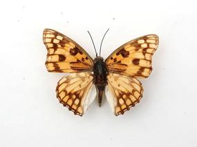 河南黄钩蛱蝶标本
