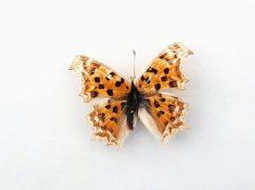黄钩蛱蝶标本