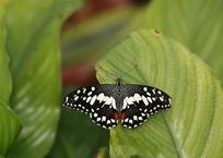 树叶上的黑白纹蝴蝶