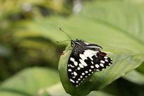树叶上的黑蝴蝶
