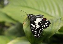 树叶上的黑色蝴蝶