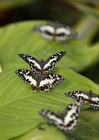 停在树叶上的蝴蝶群