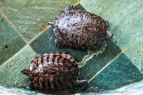 一对相向爬行的乌龟