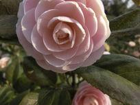 一朵阳光下的粉色茶花