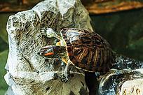 一只探头乌龟趴在灵璧石上