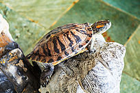 一只在灵璧石上探头张望的乌龟
