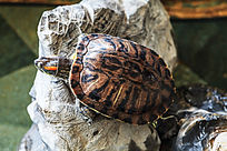在石头上休息的乌龟