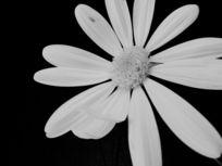 一朵黑白色花