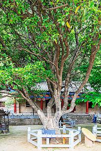 瑞云寺内的古桂花树