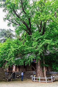 瑞云寺内高大的古银杏树