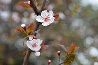 一支白色花紫叶李