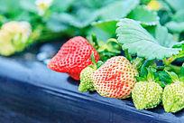草本植物草莓