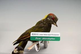 黄冠啄木鸟