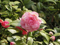 一朵深粉红色茶花