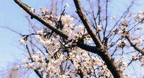 沐浴阳光的樱花
