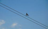 电线上飞翔的鸟图片