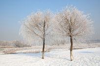 美丽的树挂