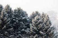 美丽的松树雪景