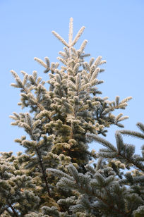 美丽的松枝树挂
