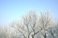 美丽洁白的树挂