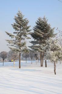 冬季美丽的青松