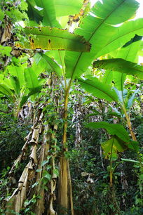热带芭蕉树林