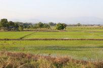 泰国清迈水稻田