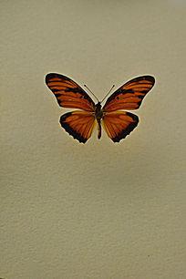 香果兰袖蝶