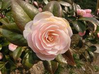 特写一朵粉色茶花