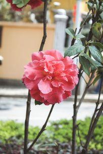 一朵开的正旺的红色茶花