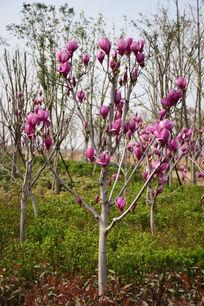 满树的紫玉兰