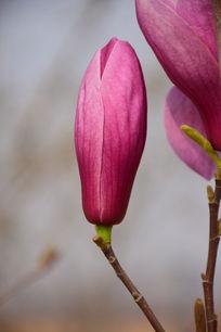 美丽的紫玉兰