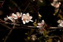 清新淡雅的红叶李花