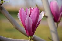 盛开的紫玉兰