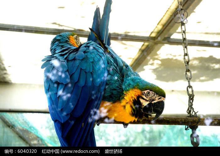 蓝色鹦鹉图片