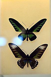 马来西亚国蝶--红颈鸟翼凤蝶