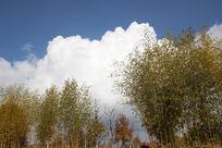 蓝天白云下的金竹林