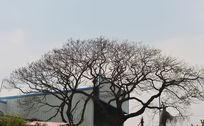 光秃秃的大树
